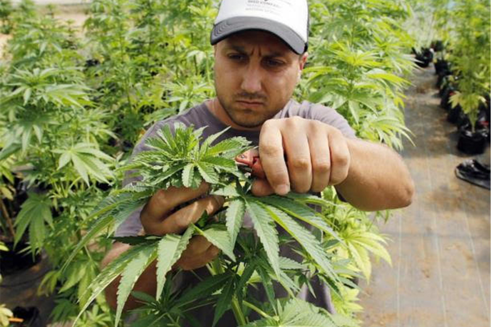 Market leader with thirty years experience in the cannabis sector enters market