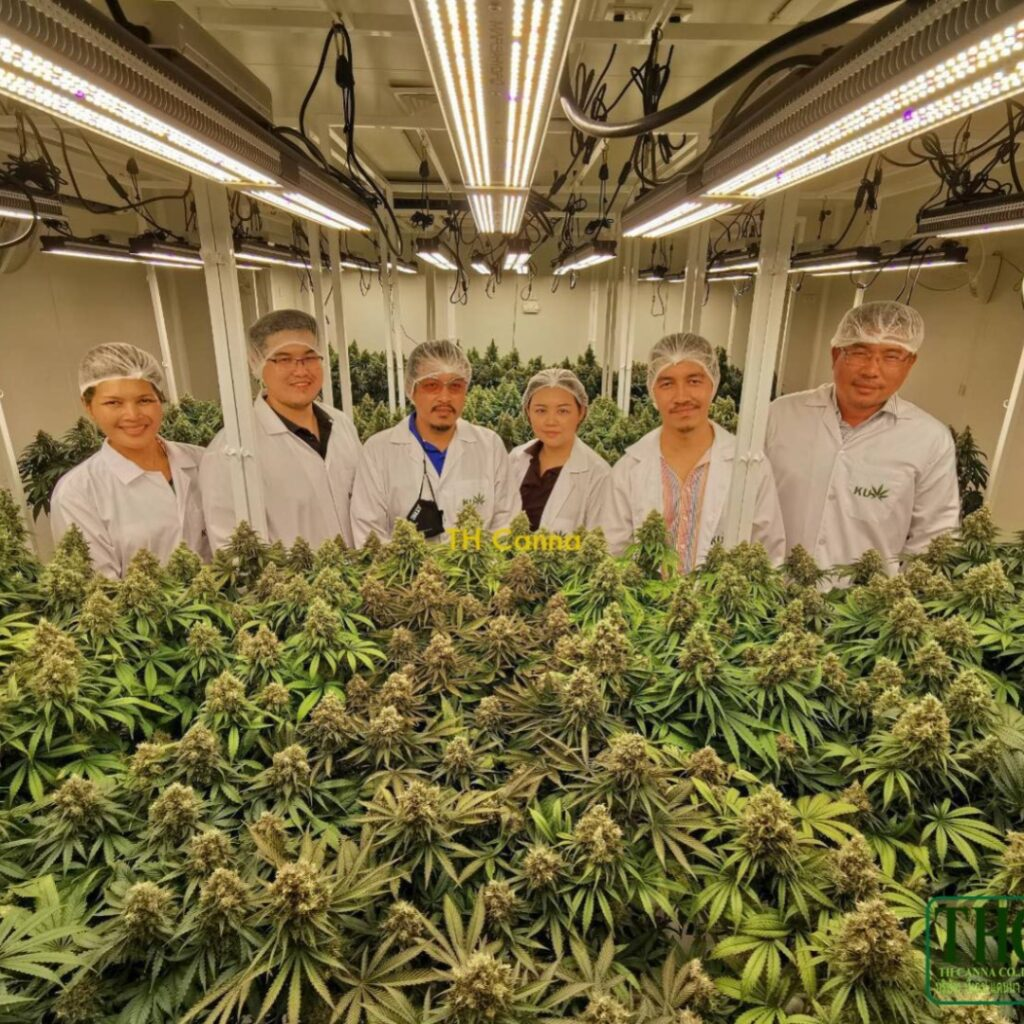 The TH Canna team stand proudly in front of their CBD Charlotte's Angel crop as it approaches harvest.