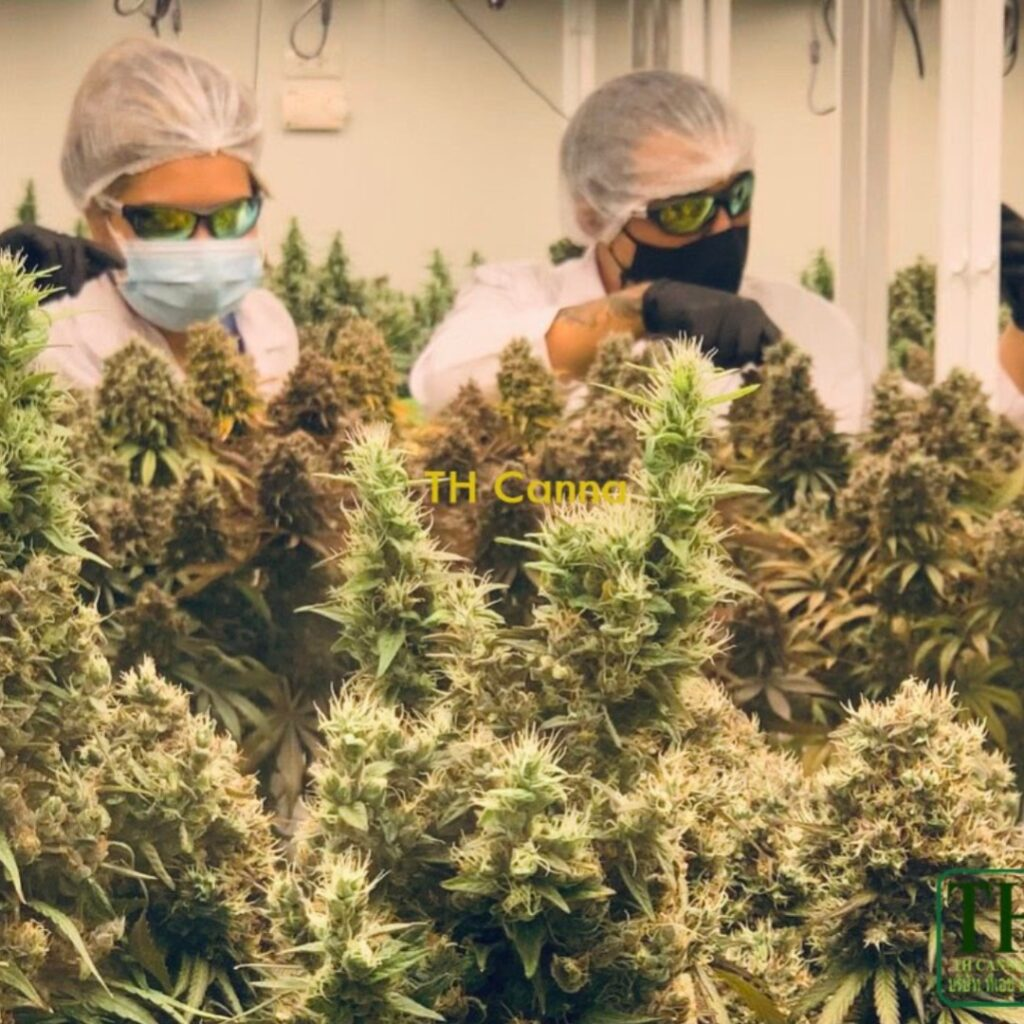 Staff from TH Canna getting hands-on as the CBD Charlotte's Angel crop nears harvest.